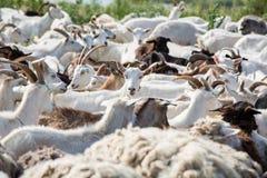 牛奶山羊牧群  免版税图库摄影