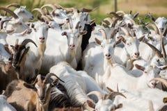 牛奶山羊牧群  库存照片