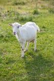 牛奶山羊 库存照片