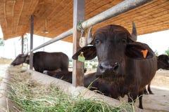 牛奶店水牛在农场 库存照片