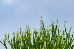 牛奶灌木(铅笔树) 免版税库存图片
