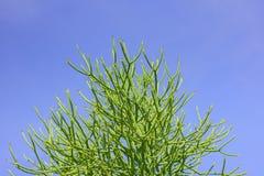 牛奶灌木(铅笔树) 免版税库存照片