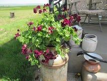 牛奶罐头的美丽的褐红的盆的植物 免版税库存照片