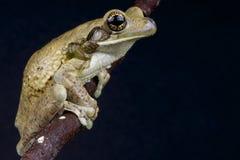 牛奶青蛙 免版税库存照片