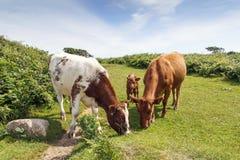 牛家庭  库存图片