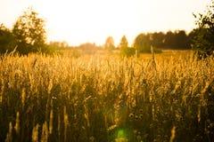 牛尾草草丛生草生长在草甸的Partensis 库存照片