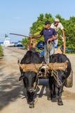 黄牛拉扯了支架在帕尔马茜草属轮渡码头在古巴 库存图片
