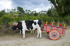 黄牛推车和母牛在咖啡种植园在哥斯达黎加,旅行 免版税图库摄影