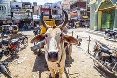 黄牛推车在市Bikaner在印度 免版税库存照片