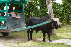 黄牛推车在拉迪格岛,塞舌尔群岛 免版税库存图片
