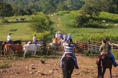 牛推进万豪大农场在弗吉尼亚 免版税库存图片