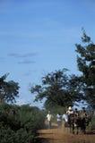 黄牛支架和农民在农村巴西 库存照片