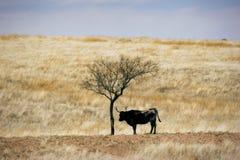 牛放牧吃草大草原春天 免版税库存照片