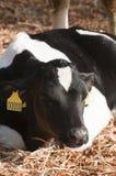 牛母牛牛奶店年轻人 图库摄影