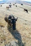 牛母牛 免版税库存照片