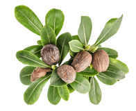 牛油树坚果和叶子 免版税库存照片