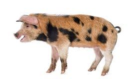 牛津桑迪和黑色小猪的侧视图 库存照片