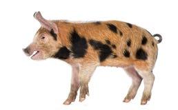 牛津桑迪和黑色小猪的侧视图 图库摄影