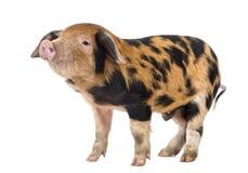 牛津桑迪和黑色小猪, 9个星期年纪 免版税图库摄影