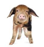 牛津桑迪和黑色小猪, 9个星期年纪 免版税库存图片