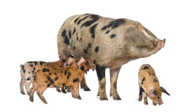 牛津桑迪和黑色小猪, 9个星期年纪 免版税库存照片