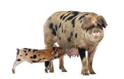 牛津桑迪和黑色小猪, 9个星期年纪 库存照片