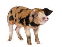 牛津桑迪和黑色小猪, 9个星期年纪 库存图片