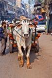 黄牛清早的推车运输在德里,印度 图库摄影