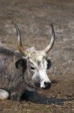 牛灰色匈牙利纵向 免版税库存图片