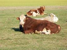 牛牧场地 免版税库存图片
