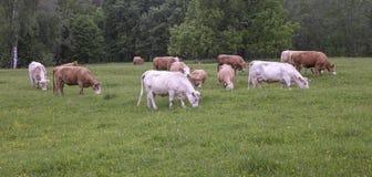 牛牧场地 免版税库存照片