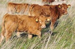 牛牧场地 库存照片