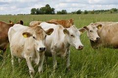 牛牧场 免版税库存照片