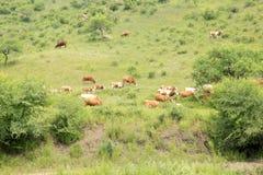 牛牧群吃草 免版税图库摄影