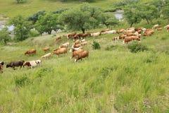 牛牧群吃草 库存照片