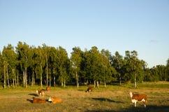 牛牧群在一个田园诗风景的 库存图片