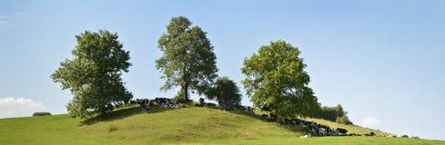 牛牧群在树荫下,全景图象 库存照片