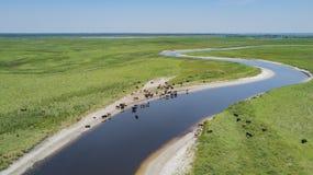 牛牧群在河附近的 图库摄影