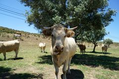 牛牧群在葡萄牙 免版税库存照片