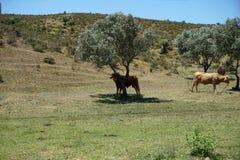 牛牧群在葡萄牙 库存图片