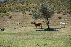 牛牧群在葡萄牙 图库摄影