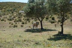 牛牧群在葡萄牙 免版税图库摄影