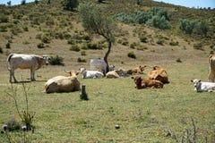 牛牧群在葡萄牙 免版税库存图片