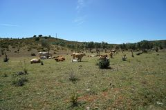 牛牧群在葡萄牙 库存照片