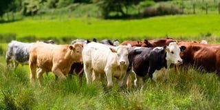 牛牧群在长毛绒绿色草甸 库存图片