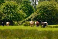 牛牧群释放入领域 免版税库存图片