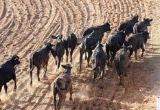 牛牧群 库存图片