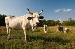 牛牧群 免版税库存照片