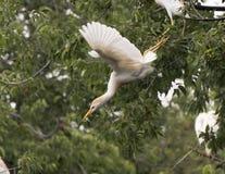牛白鹭飞行为在树的一次着陆 免版税库存照片