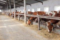牛的农场里面在期间 免版税图库摄影
